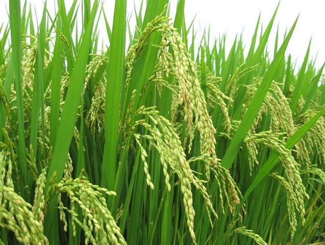giá gạo bắc hương tại hà nội